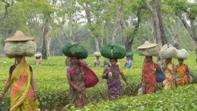 Tea production increases in the country