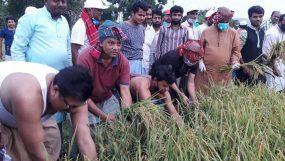তথ্যমন্ত্রী'র নির্দেশে কৃষকের ধান কেটে  দিল রাঙ্গুনিয়া কৃষকলীগ